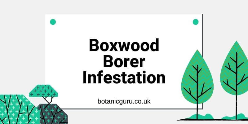 Boxwood Borer Infestation