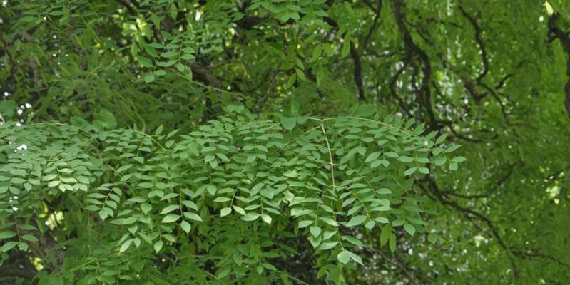 Gymnocladus Dioicus Poisonous