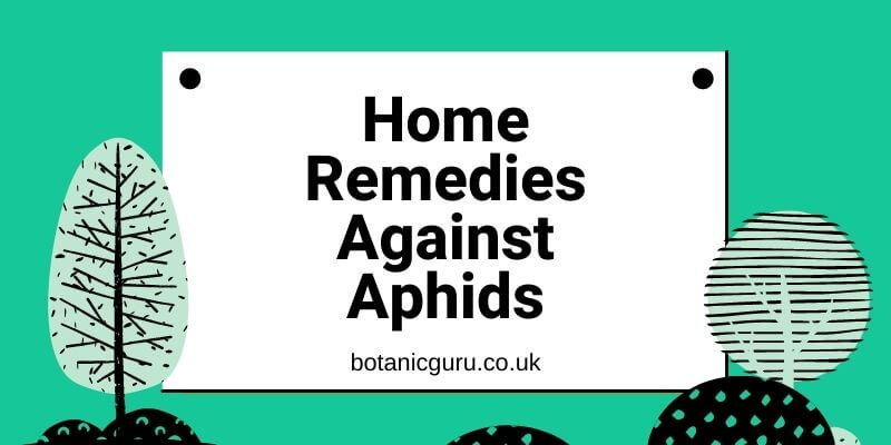 Home Remedies Against Aphids