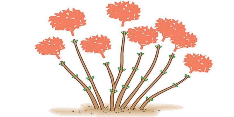 Hydrangeas of cutting group 1