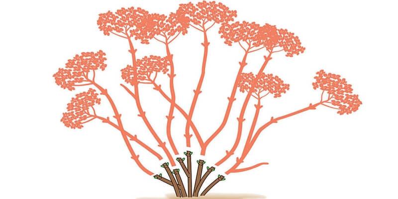 Hydrangeas of cutting group 2
