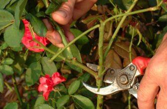 Pruning wild roses