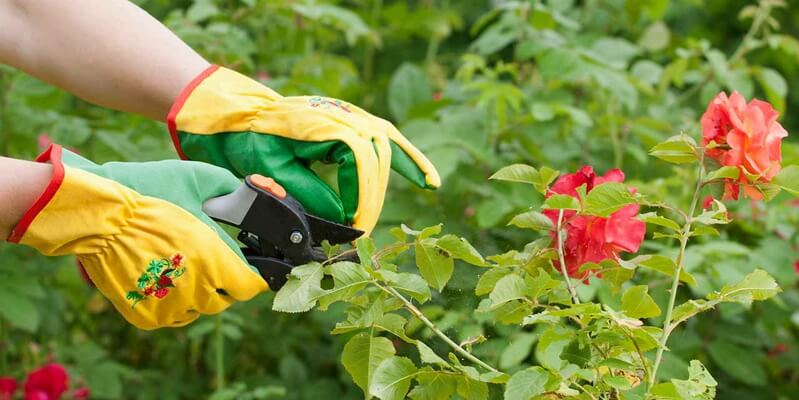 The right way to prune roses