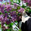 prune lilacs