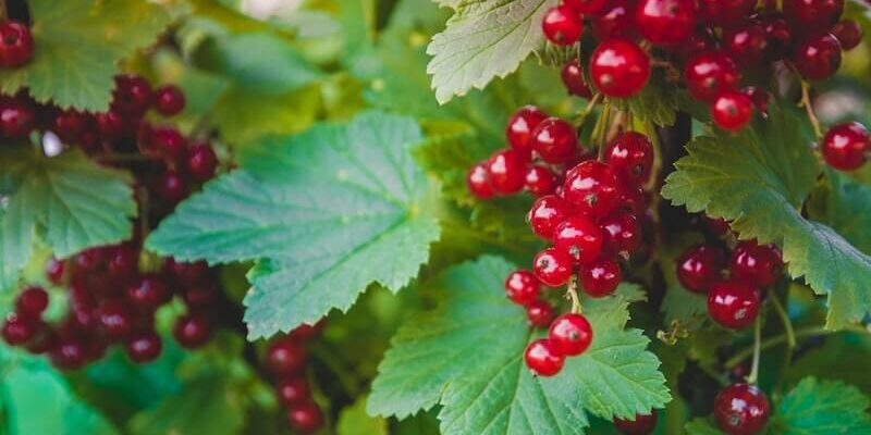 Pruning-Currant-Bushes