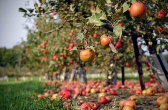 Pruning-Fruit-Trees