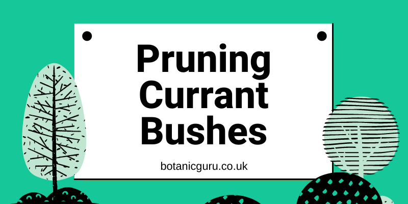 Pruning-currant