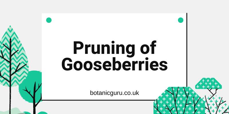 Pruning-of-Gooseberries