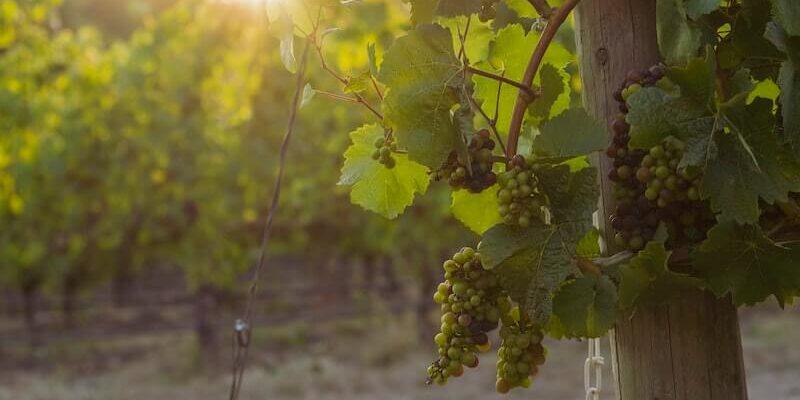 Vine-Pruning-in-spring